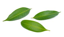 Mango leaf isolated on white background royalty free stock photos