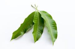 Mango leaf Royalty Free Stock Images