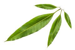 Mango leaf royalty free stock photography