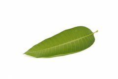 Mango leaf and stick. On a white background Royalty Free Stock Photography
