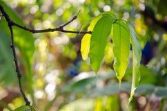 Mango leaf on the tree with bokeh background. Mango leaf with bokeh background on the tree (Other names are horse mango, Mangifera, foetida, Anacardiaceae Stock Photo