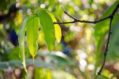 Mango leaf on the tree with bokeh background. Mango leaf with bokeh background on the tree (Other names are horse mango, Mangifera, foetida, Anacardiaceae Stock Image