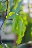 Mango leaf on the tree. Mango leaf with bokeh background on the tree (Other names are horse mango, Mangifera, foetida, Anacardiaceae, Mangifera, M. indica Royalty Free Stock Images