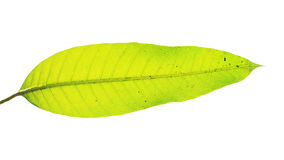 Mango leaf with water dew drop on white Royalty Free Stock Photo
