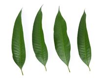 Mango leaf on a white background.  royalty free stock photo