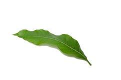 Mango leaf Royalty Free Stock Photos
