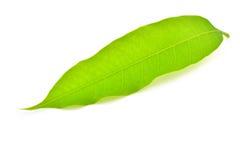 Mango leaf Royalty Free Stock Image
