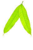 Mango leaf Stock Photos