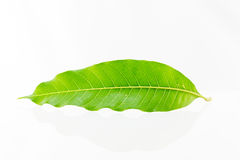A mango leaf Stock Photos