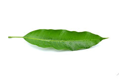 Mango leaf. On a white background Royalty Free Stock Photography