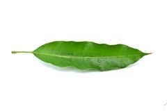 Mango leaf Royalty Free Stock Photography