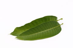 Mango leaf. On a white background Stock Image