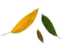 Mango leaf on white background Royalty Free Stock Images