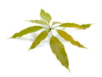 mango leaf on white background Stock Photo
