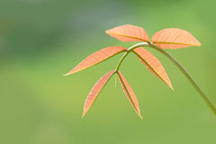 Mango leave ,Soft top of tree isolate on green background Stock Photo