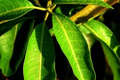 Mango leave young. tender. wall paper greeny. waterdrops stock photos