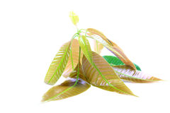 Mango leaves Stock Photography