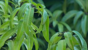 Mango leaves, branches blow in breeze, 4K. Several branches of mango tree bounce in gentle breeze, 4K stock footage