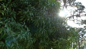 Mango leaves, branches blow in breeze, lensflare, 4K. Several branches of mango tree bounce in gentle breeze, 4K stock video