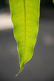 Mango leaves Stock Photo