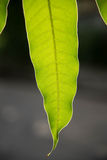 Mango leaves Stock Image