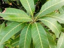Mango leaves Stock Photo