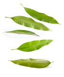 Mango leaves. Isolated bunch of green mango leaves cut out Royalty Free Stock Image