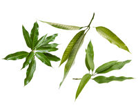 Mango leaves. Isolated bunch of green mango leaves cut out Stock Images