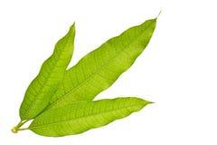 Mango leaves Stock Images