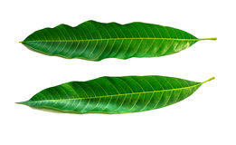 Mango leaves on white background, with clipping path. Stock Photos