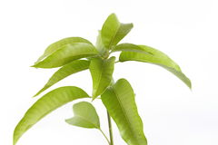 Mango leaves. On white background.Mango tree leafs Royalty Free Stock Photography