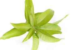 Mango leaves Stock Image