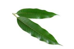 Mango liście odizolowywają na bielu Zdjęcia Royalty Free