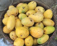 Mango in mand stock fotografie