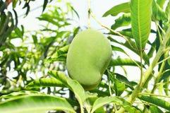 Mango on a mango tree Royalty Free Stock Photos