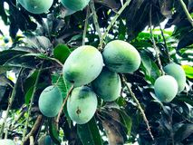 Mango in mango tree surrounded with mango leafs. Langra Aam royalty free stock photo