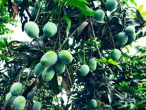 Mango in mango tree surrounded with mango leafs. Langra Aam stock photos