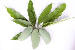 Mango mit den Mangoblättern lokalisiert auf wite Hintergrund Lizenzfreies Stockbild