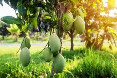 Mango na drzewie, Świeże owoc wiesza od branche, wiązka zielony i dojrzały mango Obraz Stock