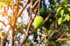 Mango na drzewie, Świeże owoc wiesza od gałąź, wiązka zielony i dojrzały mango Fotografia Royalty Free