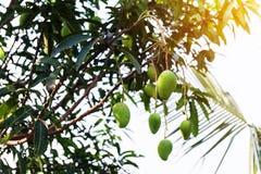 Mango na drzewie, Świeże owoc wiesza od gałąź, wiązka zielony i dojrzały mango Obraz Royalty Free