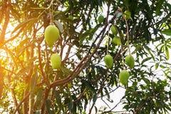 Mango na drzewie, Świeże owoc wiesza od gałąź, wiązka zielony i dojrzały mango Zdjęcie Stock