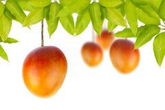 Mango na drzewie zdjęcie stock