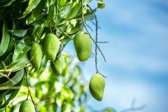Mango na gałąź Obraz Royalty Free