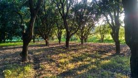 Mango-Obstgarten Lizenzfreie Stockfotos