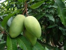Mango op de boom Stock Fotografie