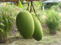 Mango op de boom Stock Foto's