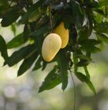 Mango op de boom. Stock Fotografie