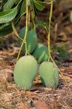 Mango op Thee van Thailand Stock Afbeelding