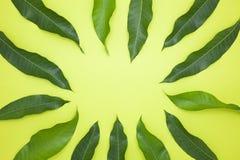 Mango opuszcza na zielonego papieru tle, pojęcia lata tło Obraz Stock